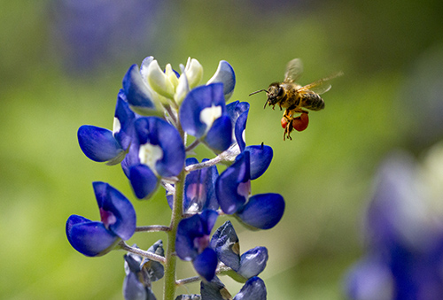 Picture of a bluebonnet and a bee